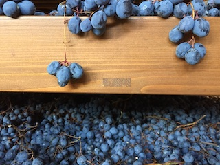 Amarone drying Corvina grapes