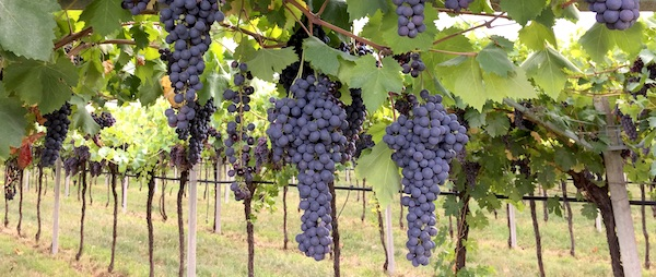 vineyard with grapes for Amarone